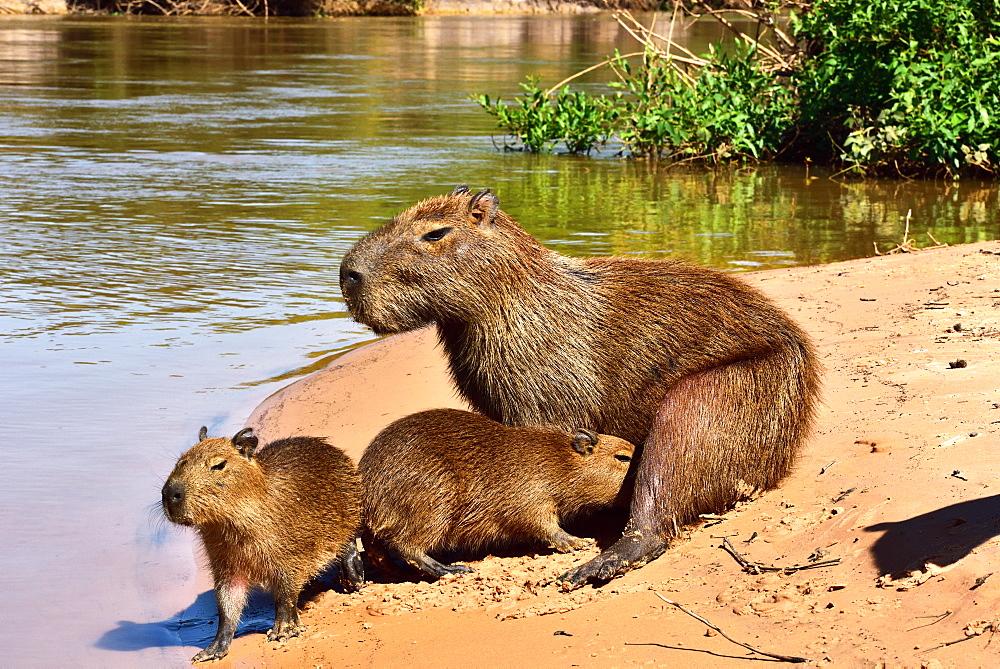 Capibara (Hydrochoerus hydrochaeris), Pantanal, Mato Grosso, Brazil, South America - 1162-237