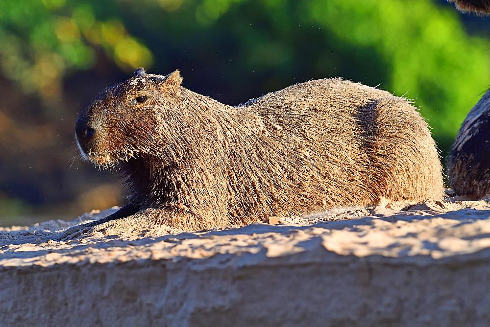 Capibara (Hydrochoerus hydrochaeris), Pantanal, Mato Grosso, Brazil, South America - 1162-238