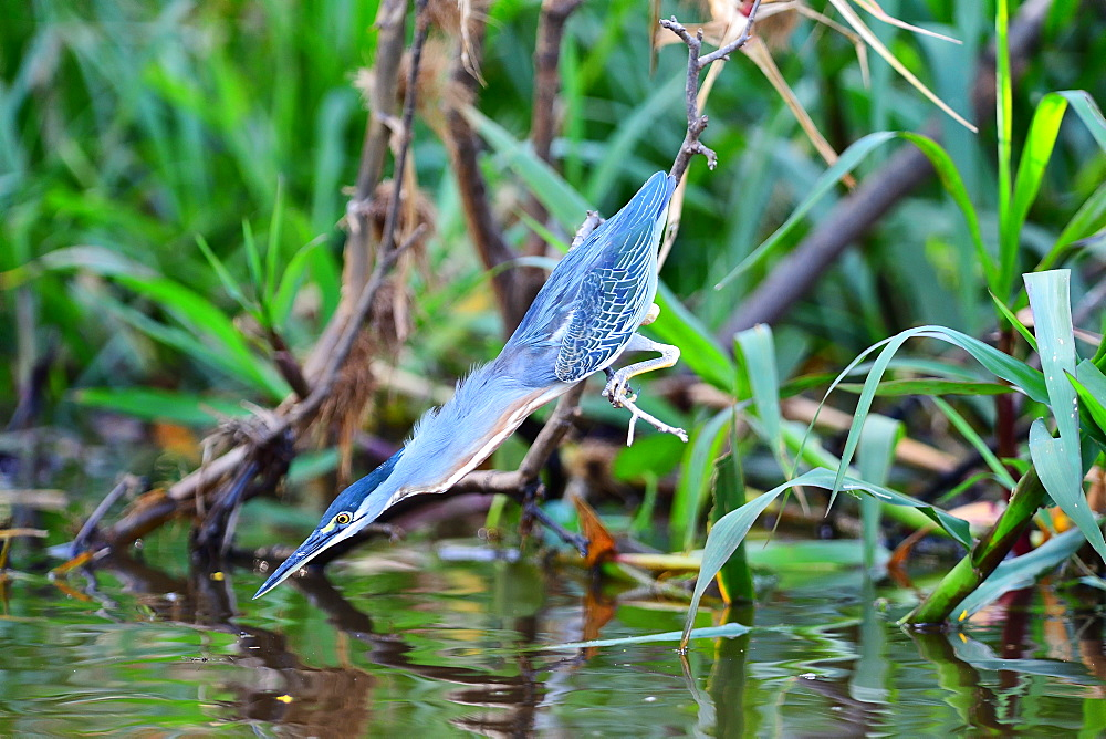 Striated heron (Butorides striata), Pantanal, Mato Grosso, Brazil, South America