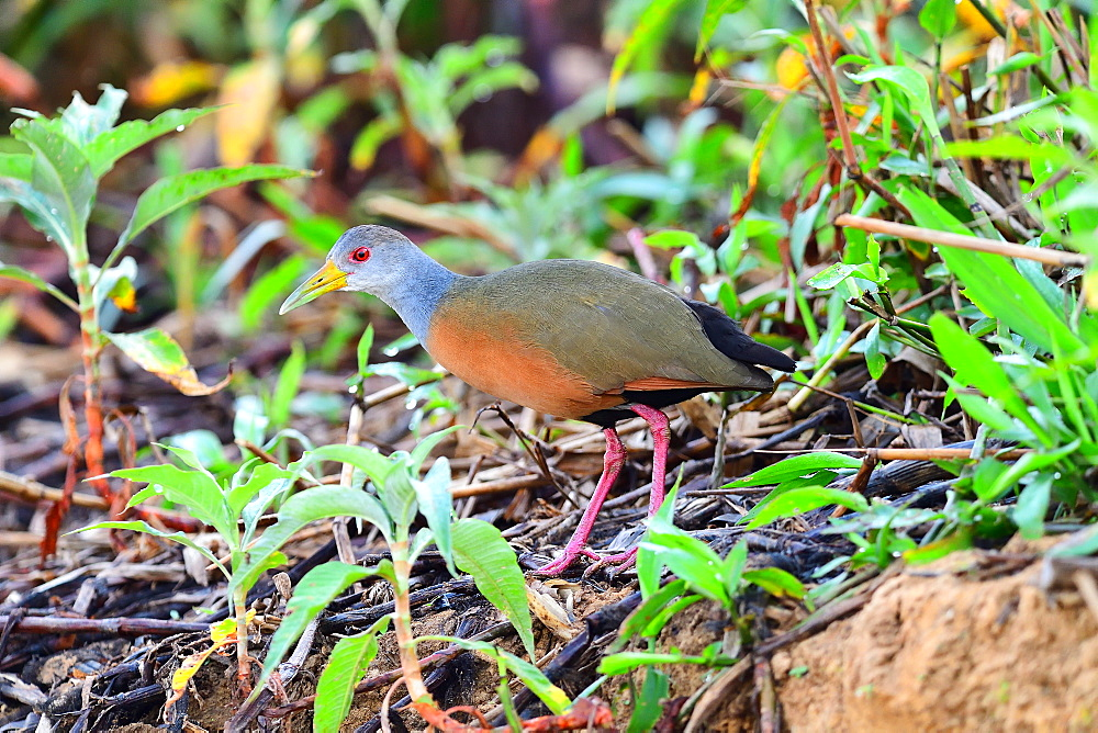Grey necked wood rail (Aramides cajanea), Pantanal, Mato Grosso, Brazil, South America