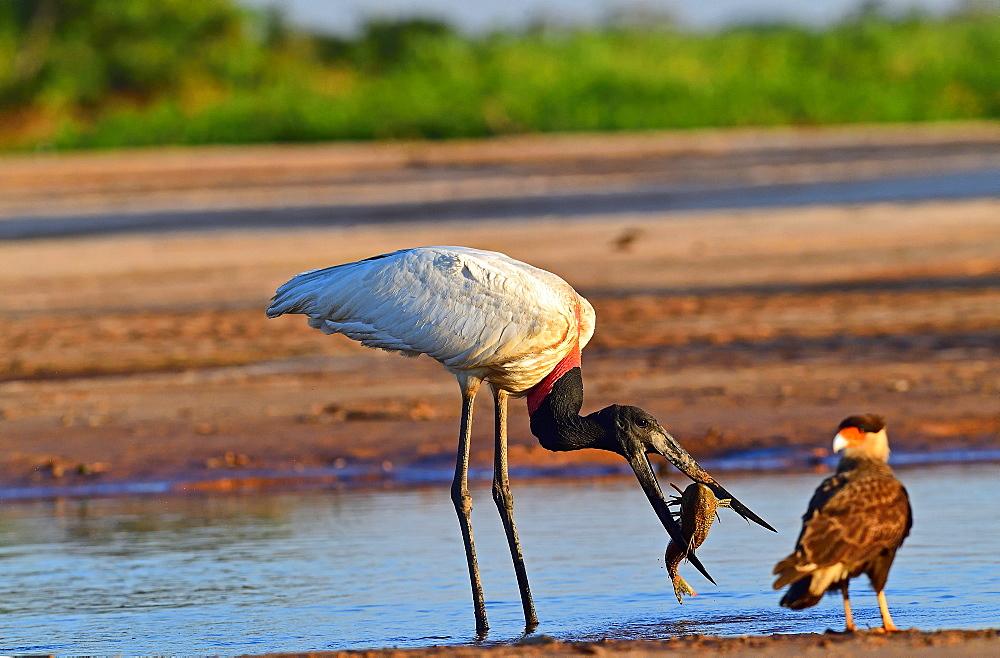 Jaribu stork (Jaribu Mycteria), Pantanal, Mato Grosso, Brazil, South America