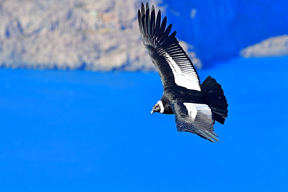 Andean Condor (Vultur Grifus), Torres del Paine, Patagonia, Chile, South America