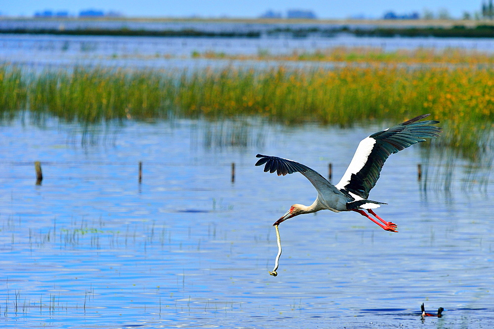 Maguari stork (Ciconia maguari) flying with a snake in its beak, Buenos Aires Province, Argentina, South America