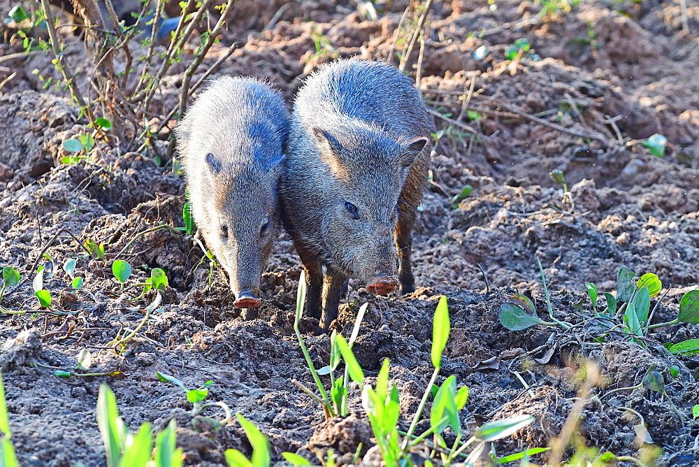 Pecari, Pantanal, Mato Grosso, Brazil, South America - 1162-250