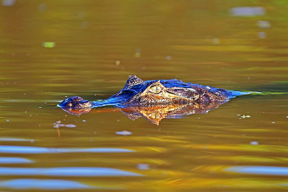 Cayman, Pantanal, Mato Grosso, Brazil, South America - 1162-251