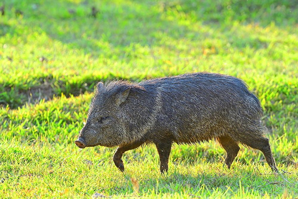 Pecari (Pecari tajacu), Pantanal, Mato Grosso, Brazil, South America - 1162-253