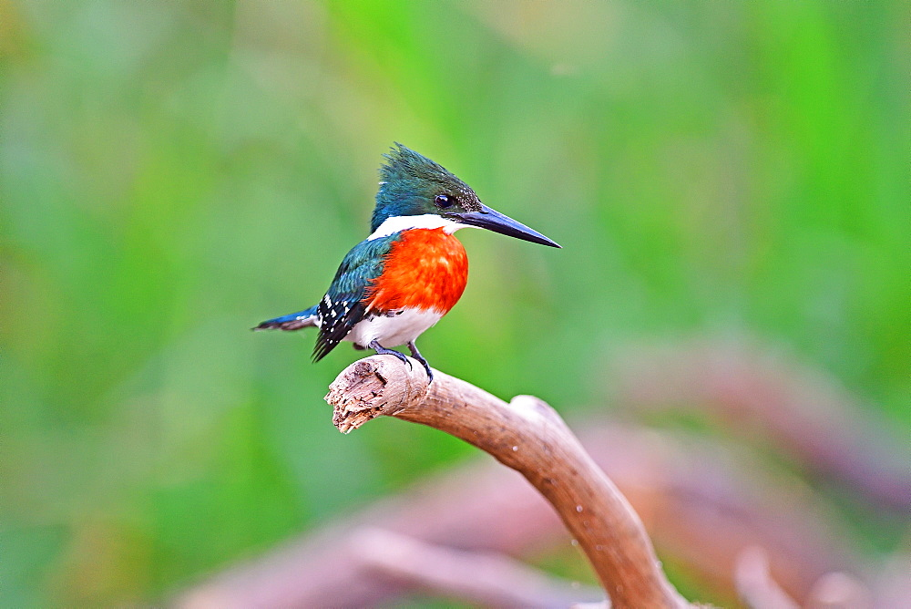 Green Kingfisher (American Chloroceryle), Pantanal, Mato Grosso, Brazil, South America - 1162-254