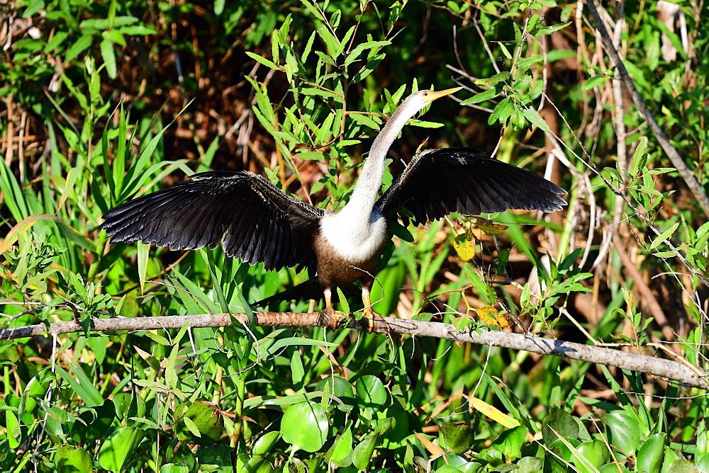 Snakebird (Anhinga Anhinga), Pantanal, Mato Grosso, Brazil, South America