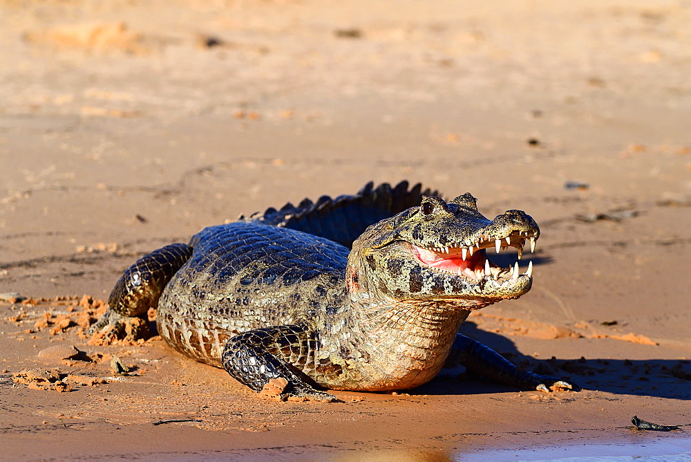 Cayman, Pantanal, Mato Grosso, Brazil, South America - 1162-264