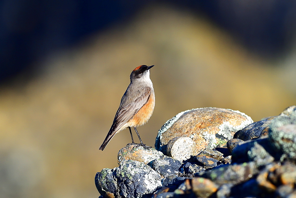 Cinnamon bellied ground tyrant (Muscisaxicola capistrata), Patagonia, Chile, South America