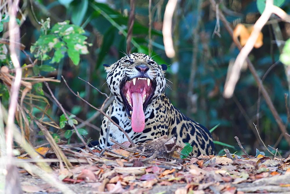Jaguar (Panthera onca), Pantanal, Mato Grosso, Brazil, South America