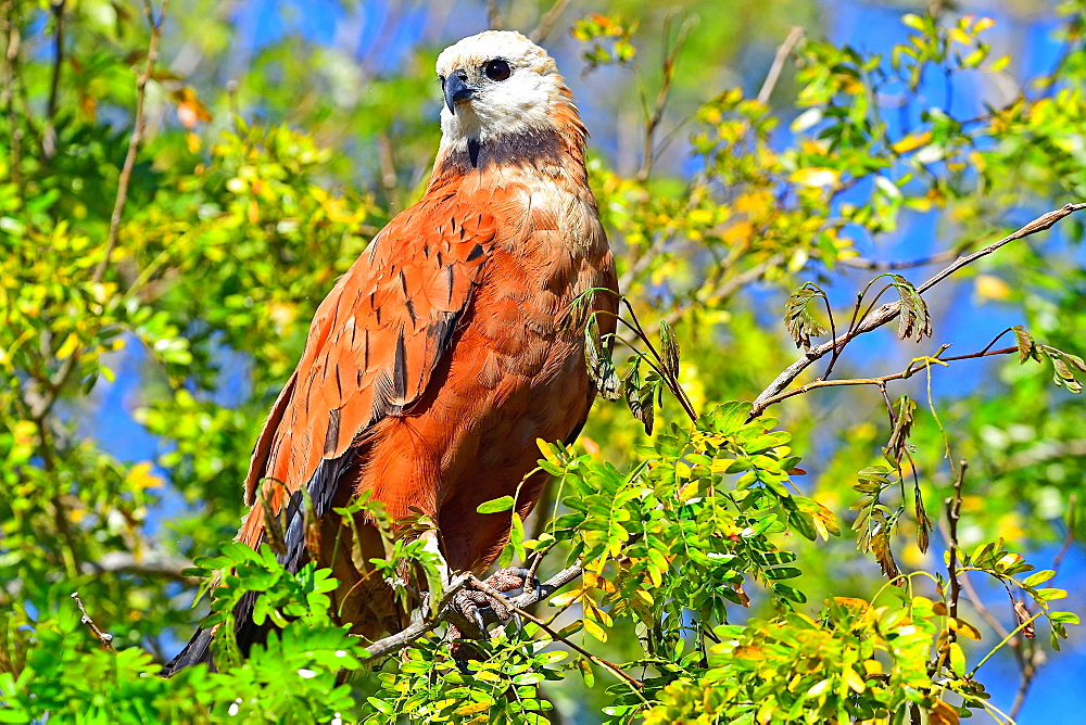 Black collared hawk (Busarellus Nigricoli), Pantanal, Mato Grosso, Brazil, South America