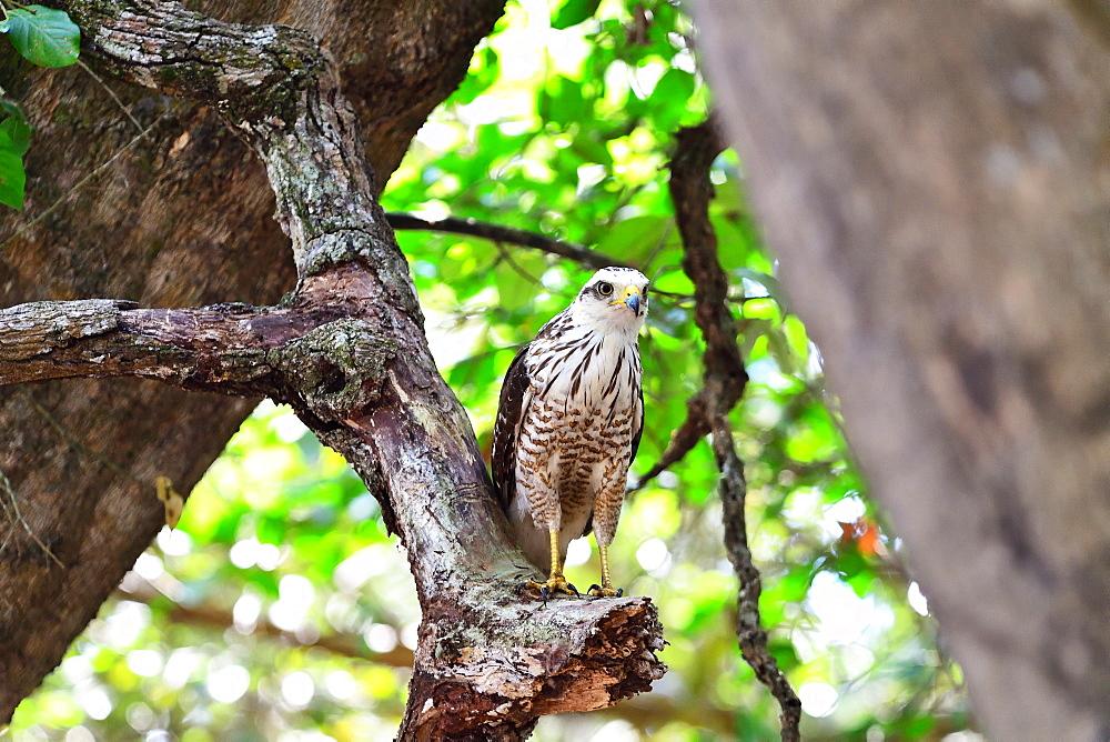 Roadside Hawk (Buteo Magnirostris) juvenile, Pantanal, Mato Grosso, Brazil, South America