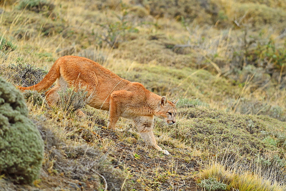 Puma (Puma concolor), Patagonia, Chile, South America