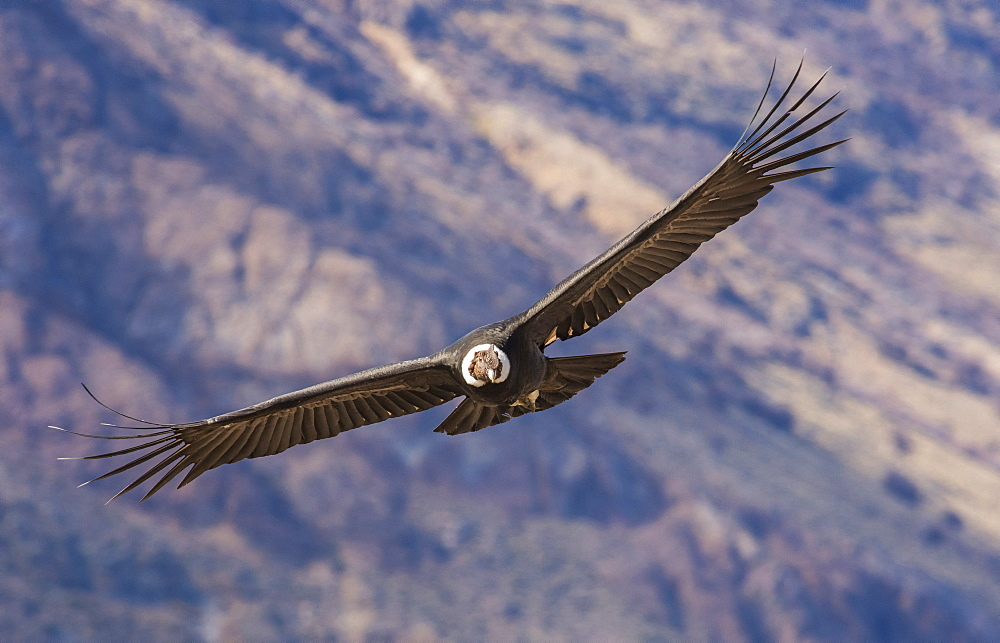 Andean Condor (Vultur Gryphus), Patagonia, Argentina, South America - 1162-281