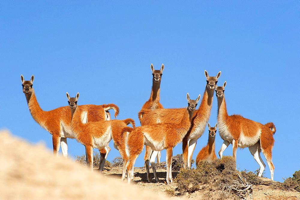 Guanaco (Lama guanicoide) pod over dunes, Peninsula Valdes, Patagonia, Argentina, South America
