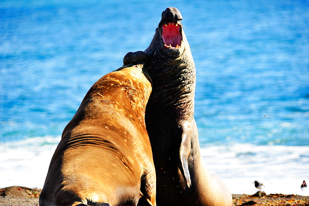 Southern elephant seal (Mirounga leonina) adult males fighting, Peninsula Valdes, Patagonia, Argentina, South America