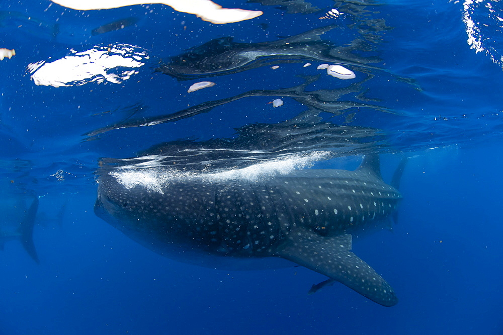 Whale shark (Rhincodon typus) and suckerfish (remora) (Echeneidae), Gulf of Mexico, Mexico, North America