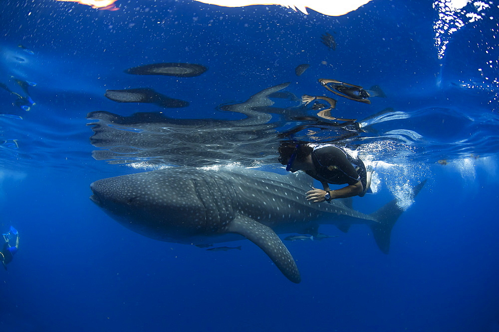 Diver and whale shark (Rhincodon typus) with suckerfish (remora) (Echeneidae), Gulf of Mexico, Mexico, North America