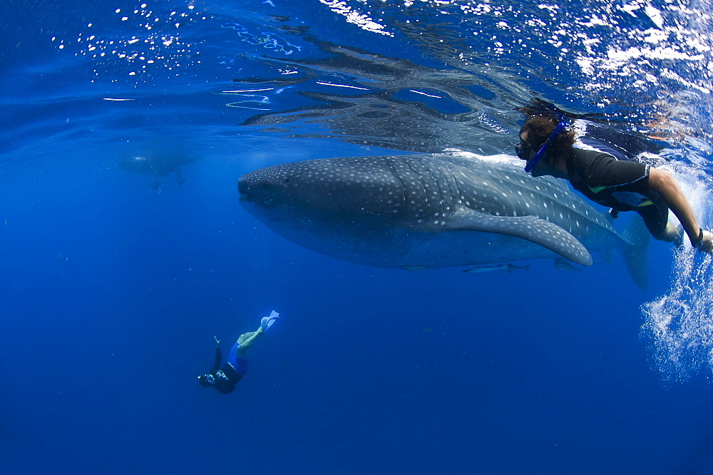 Divers and whale shark (Rhincodon typus) with suckerfish (remora) (Echeneidae), Gulf of Mexico, Mexico, North America