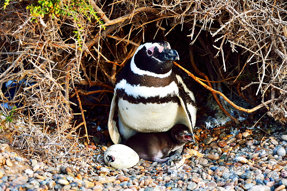 Magellanic penguin (Spheniscus Magellanicu) female with chick and egg, Peninsula Valdes, Patagonia, Argentina, South America