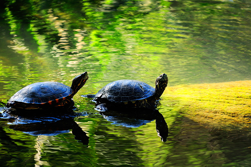 Red-eared slider turtle (Trachemys scripta elegans), Buenos Aires Zoo, Argentina, South America