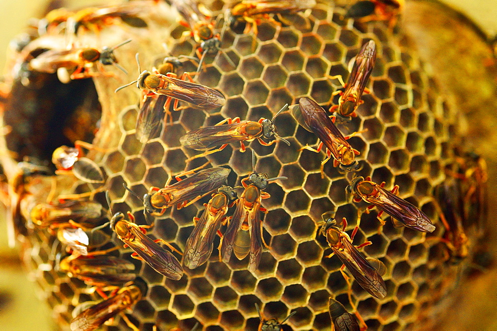 Red wasps (Polistes canadensis) building nest, Buenos Aires, Argentina, South America
