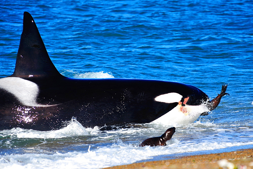 Orca (Orcinus orca) adult male hunting South American sea lion (otaria flavescens), Peninsula Valdes, Patagonia, Argentina, South America