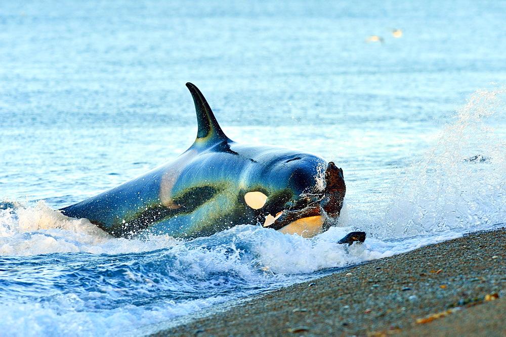 Orca (Orcinus Orca) hunting South American sea lion (Otaria flavescens), Peninsula Valdes, Patagonia, Argentina, South Atlantic, South America