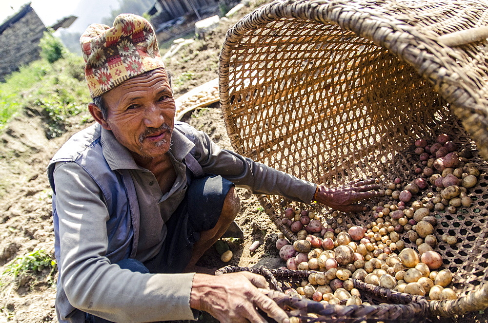 A man collects freshly dug new season potatoes, near Thimbu, Helambu, Nepal, Asia