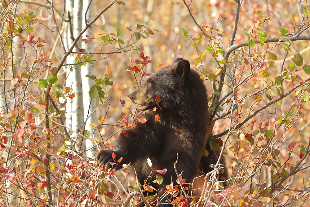 Cinnamon black bear (Ursus americanus) climbs a tree in search of autumn (fall) berries, Grand Teton National Park, Wyoming, United States of America, North America