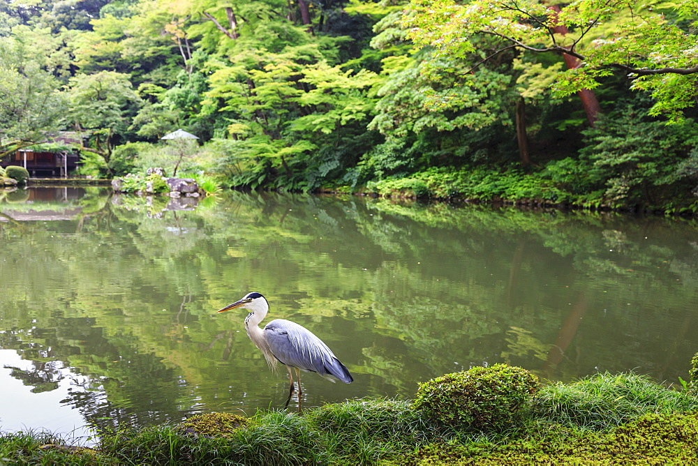 Stork at Hisagoike Pond in summer, Kenrokuen, one of Japan's three most beautiful landscape gardens, Kanazawa, Japan, Asia