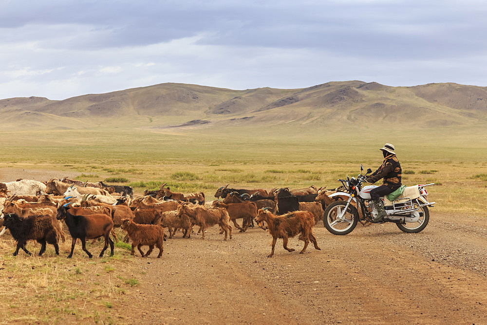 Herder on motorcycle with goat and sheep herd crosses road to Mandalgov in hill country South of Ulan Bator, Tov, Central Mongolia, Central Asia, Asia