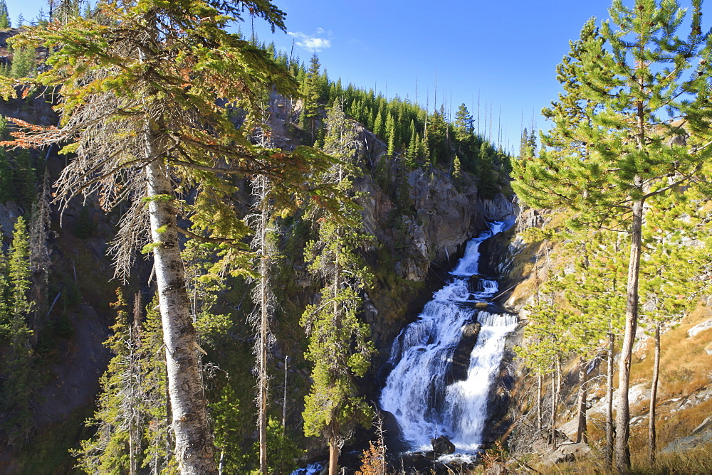 Pines at Mystic Falls, near Biscuit Basin, Yellowstone National Park, UNESCO World Heritage Site, Wyoming, United States of America, North America
