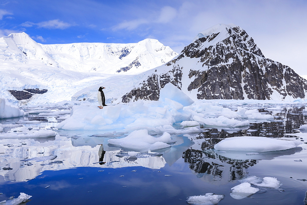 Gentoo penguin on an iceberg reflected in calm waters of sunny Neko Harbour, mountain and glacier backdrop, Antarctica