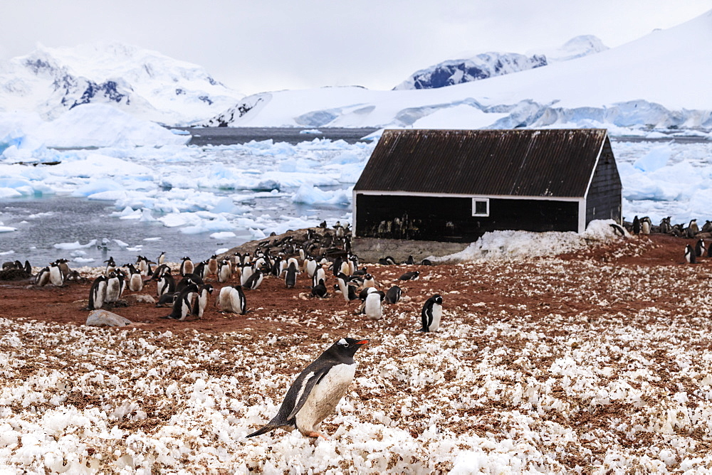 Gentoo penguin (Pygoscelis papua) colony and guano covered snow, Chilean Gonzalez Videla Station, Waterboat Point, Antarctica, Polar Regions
