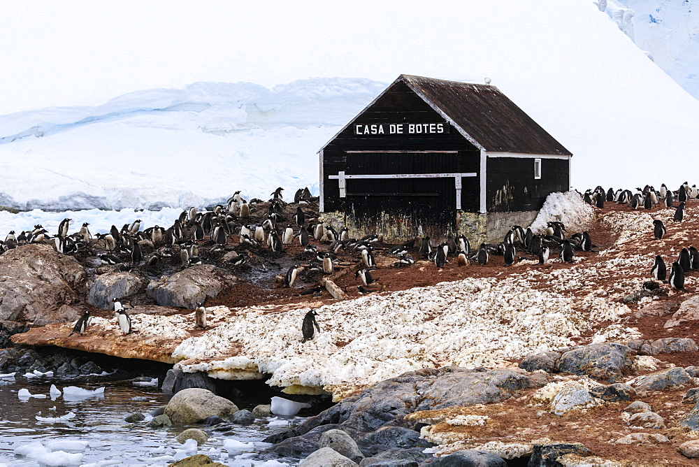 Gentoo penguin (Pygoscelis papua) colony, boat hut of Chilean Gonzalez Videla Station, Waterboat Point, Paradise Bay, Antarctica, Polar Regions