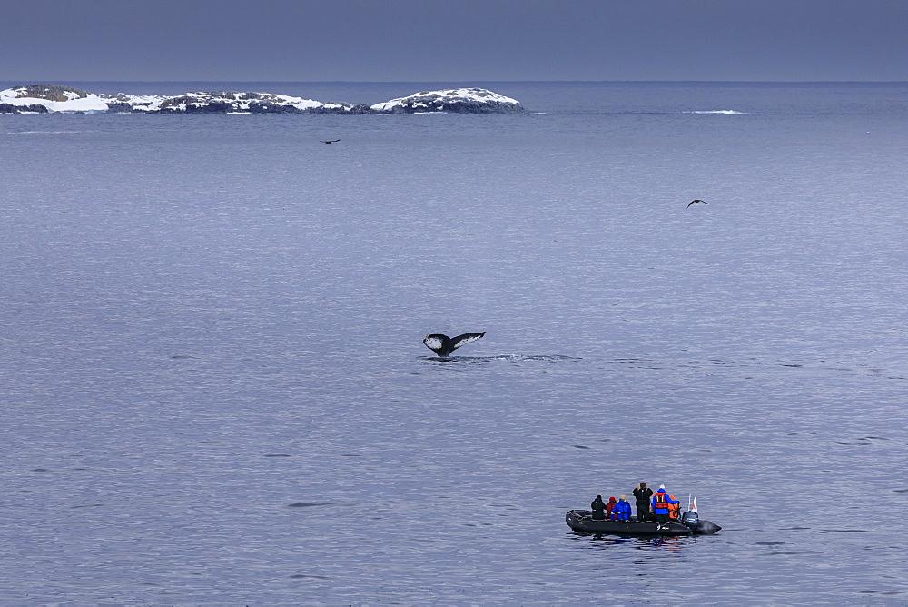 Humpback Whale (Megaptera novaeangliae) fluke, watched by tourists in zodiac, Torgersen Island, Antarctic Peninsula, Antarctica