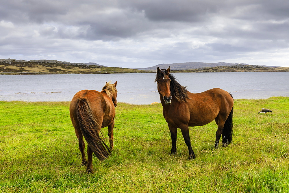 Windswept pair of horses, distant mountains and the sea, The Narrows, Stanley Harbour, Port Stanley, Falkland Islands, South America - 1167-1818