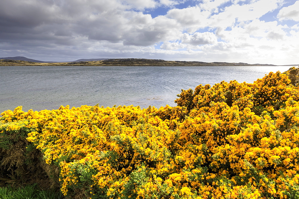 Yellow flowering gorse (ulex), distant mountains, good weather, The Narrows, Stanley Harbour, Port Stanley, Falkland Islands, South America