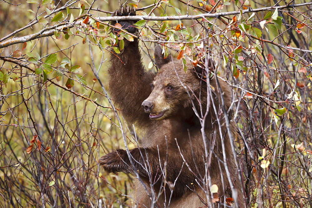 Cinnamon black bear (Ursus americanus) hangs on a chokeberry branch in autumn (fall), Grand Teton National Park, Wyoming, United States of America, North America