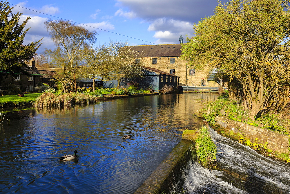 Caudwell's Mill, mill cottages and mallard ducks in spring, a listed historic roller flour mill, Rowsley, Derbyshire, England, United Kingdom, Europe