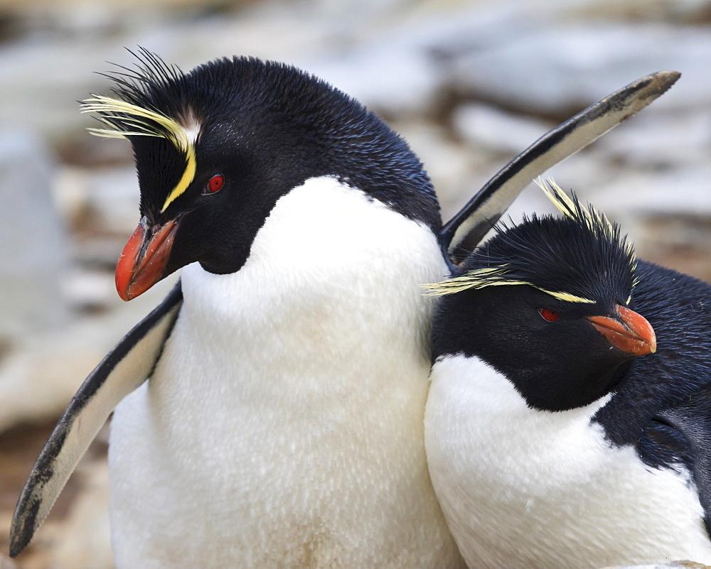 Rockhopper penguin (Eudyptes chrysocome) courtship behaviour, Rockhopper Point, Sea Lion Island, Falkland Islands, South America