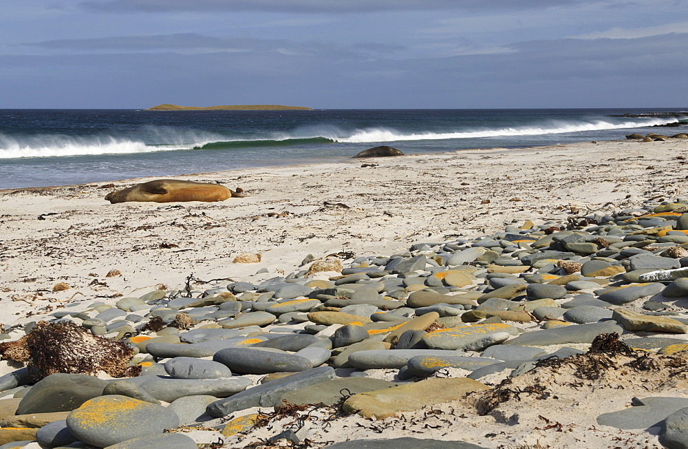 Southern elephant seals (Mirounga leonina) on beach with breaking wave, Sea Lion Island, Falkland Islands, South America