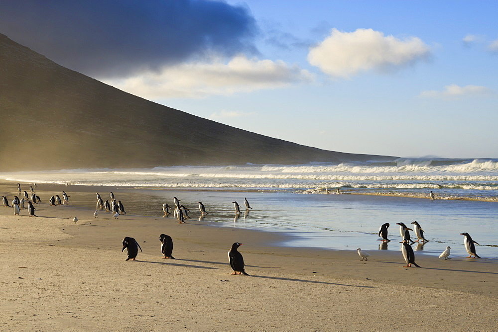 Gentoo penguins (Pygoscelis papua) with evening sun lighting up sea spray, the Neck, Saunders Island, Falkland Islands, South America