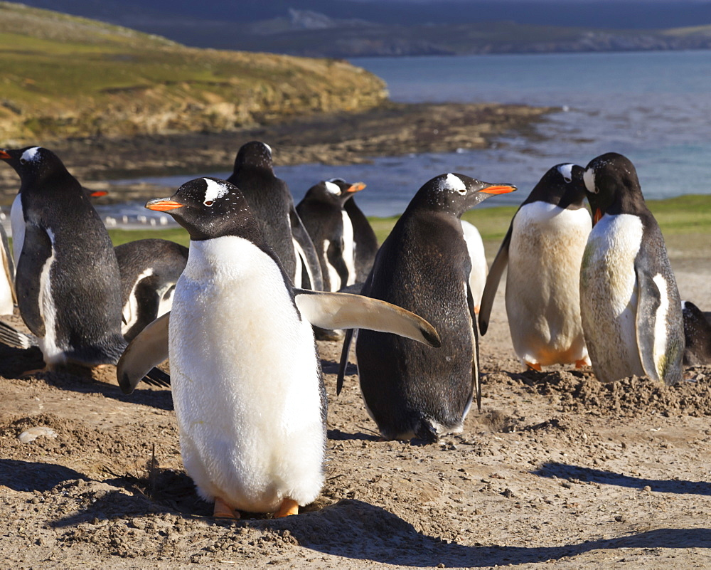Gentoo penguins (Pygoscelis papua) breeding colony, the Neck, Saunders Island, Falkland Islands, South America