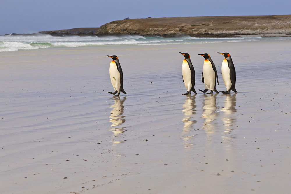 King penguins (Aptenodytes patagonicus) in a line on a white sand beach, Volunteer Point, East Falkland, Falkland Islands, South America