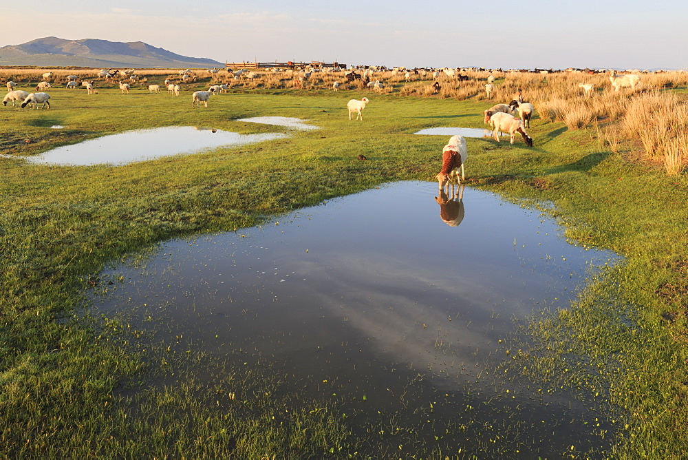 Grazing herd of goats and sheep at sunrise, reflected goat drinks from pool in summer, Nomad camp, Gurvanbulag, Bulgan, Mongolia, Central Asia, Asia