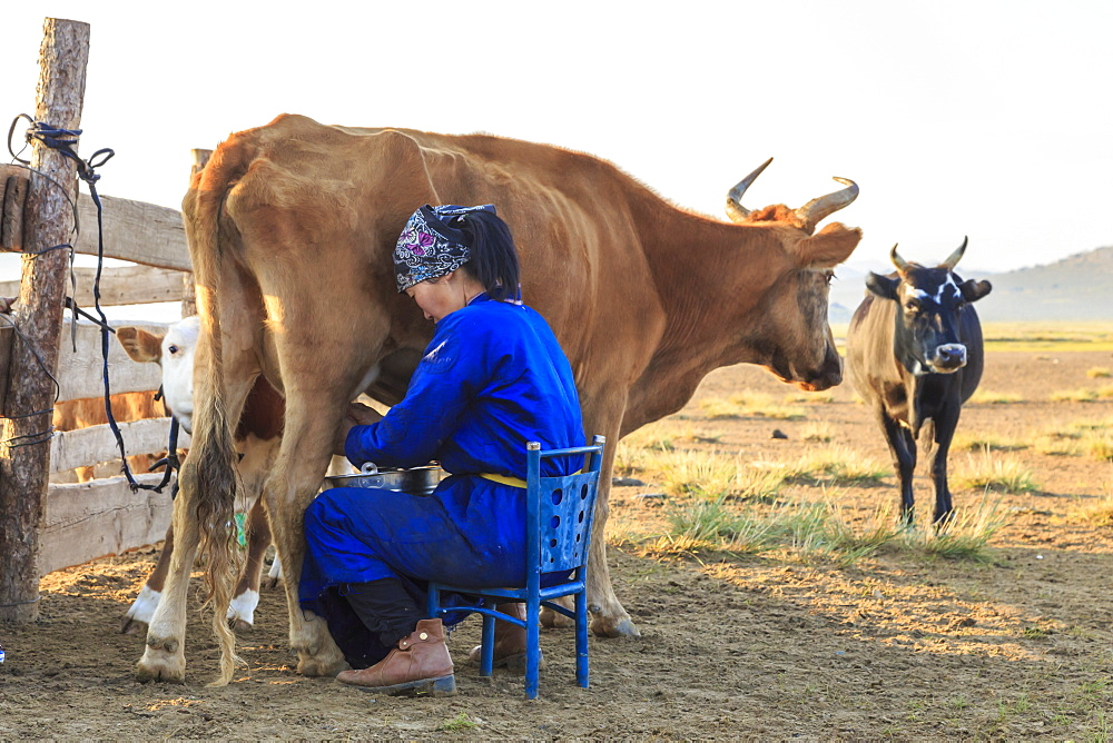 Seated lady wearing traditional clothing (deel) milks cow, Summer dawn, Nomad camp, Gurvanbulag, Bulgan, Northern Mongolia, Central Asia, Asia