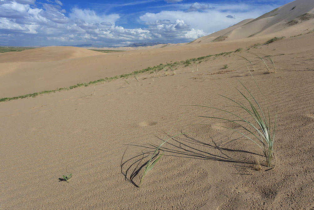 Plant growing on huge sand dunes on a summer evening, Khongoryn Els, Gobi Desert, Mongolia, Central Asia, Asia